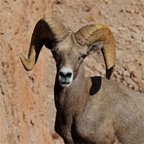Bighorn Sheep of Baja